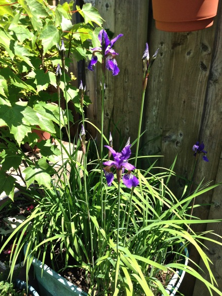 iris-maple